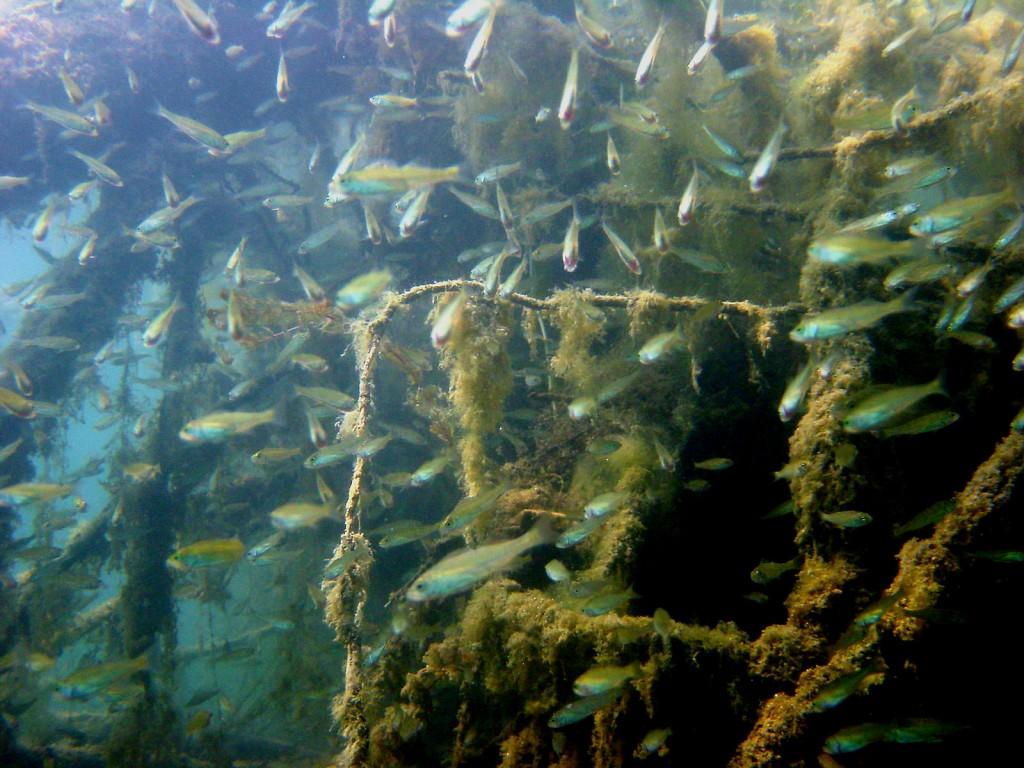 Barschbrut im Unterwasserdschungel